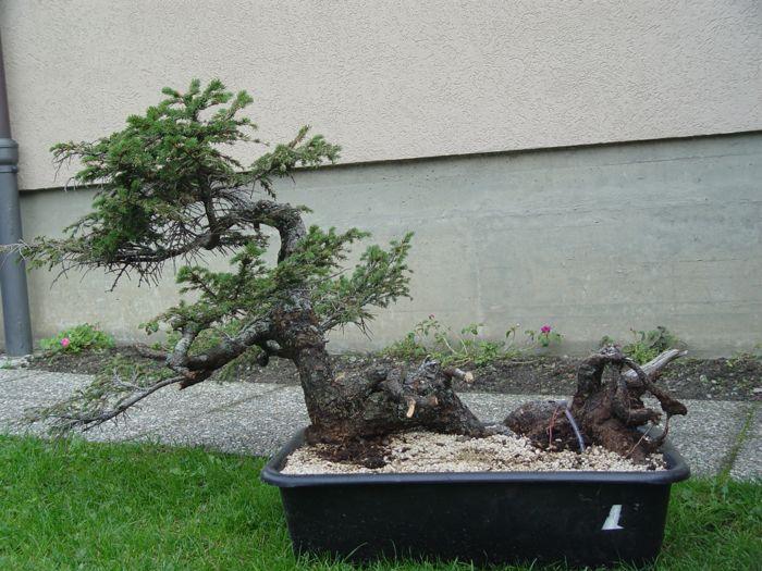 Abete lavorato alla giareda kitora no do for Accessori per bonsai