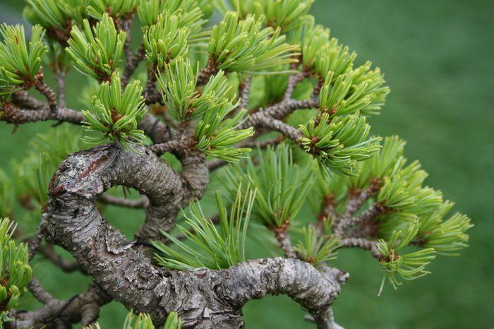 Pinus pumila pino nano siberiano kitora no do - Pino nano da giardino ...