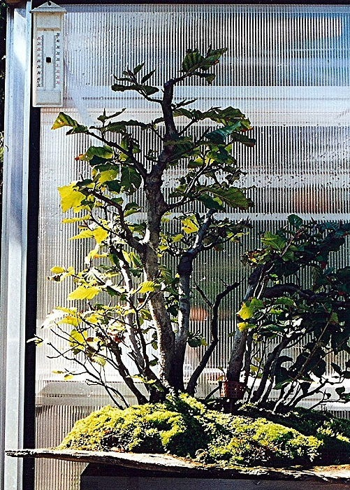 Bosco di faggio su pietra piatta - ISHIZUKI    (3/6)