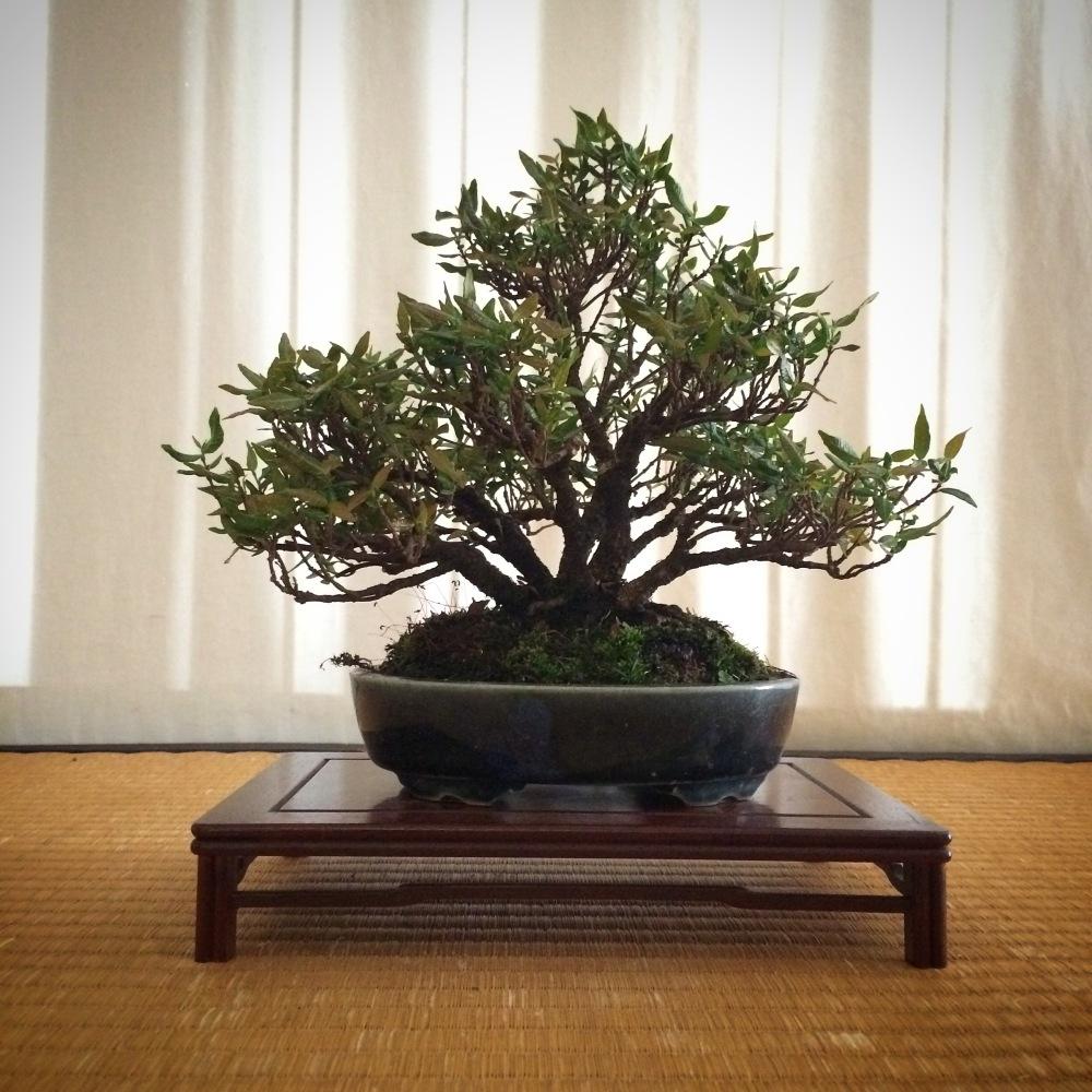 Chuhin display-Silvestris kengai (2/6)