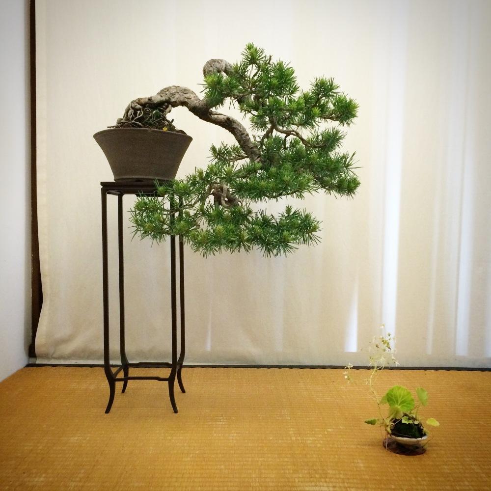 Chuhin display-Silvestris kengai (3/6)