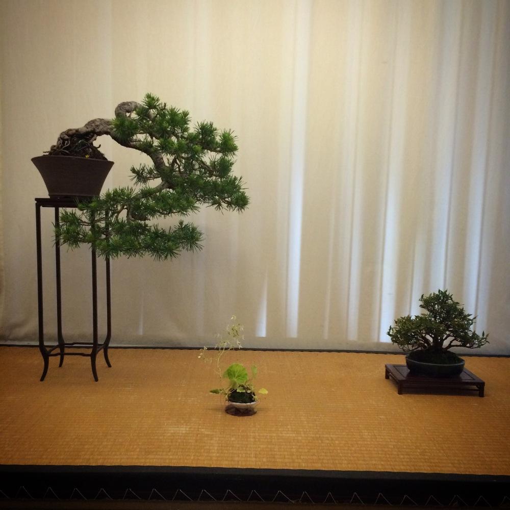 Chuhin display-Silvestris kengai (4/6)