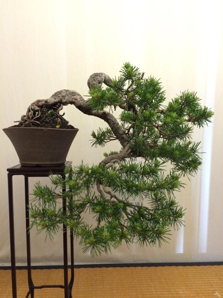 Chuhin display-Silvestris kengai (5/6)