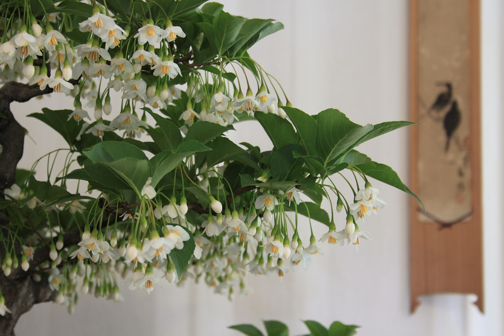Styrax japonica display (5/5)