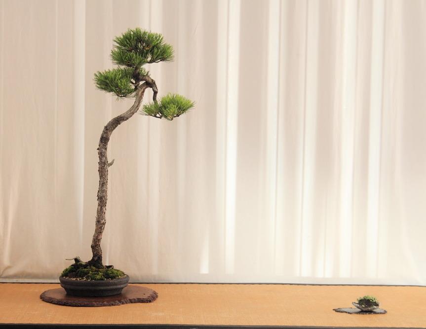 Bun jin gi display-Pinus cembra (1/2)