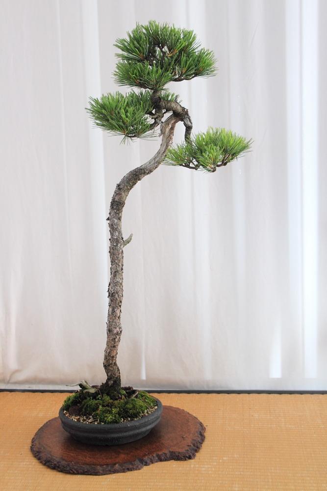 Bun jin gi display-Pinus cembra (2/2)
