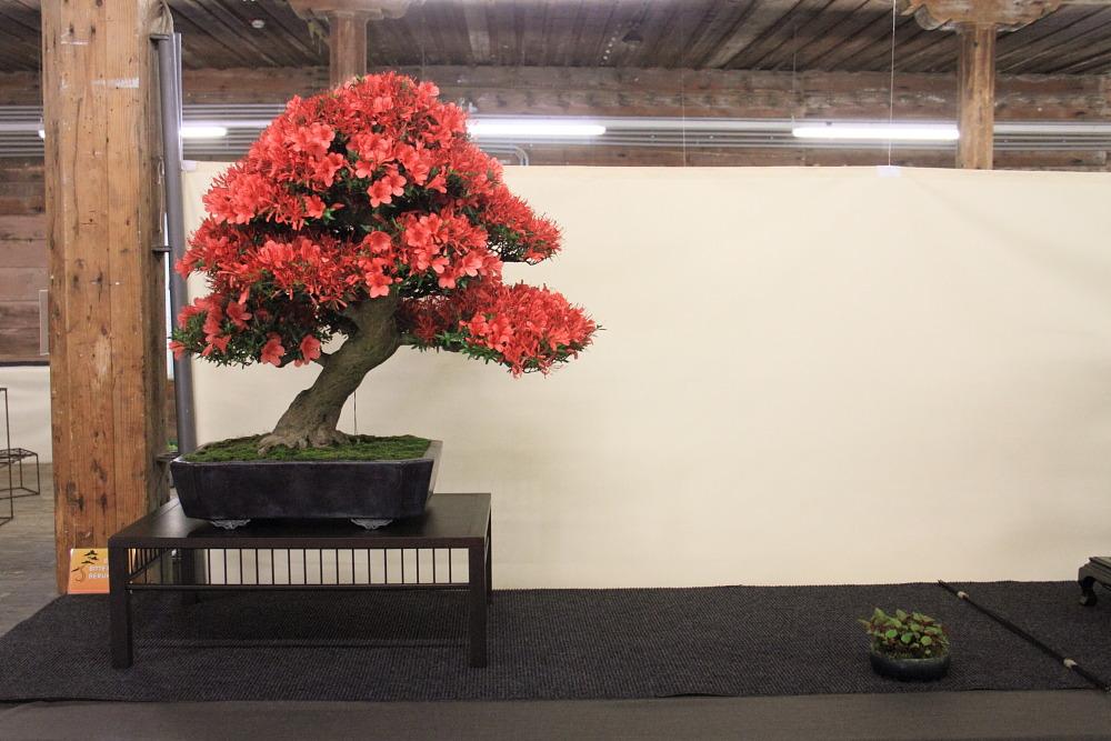 Internationales Bonsai- und Kusamonofest Hallein 2015 (5/6)