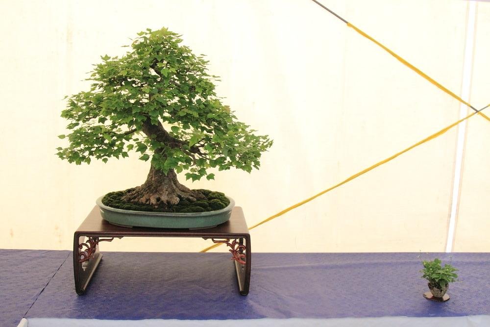 Img 3490 kitora no do for Dove comprare bonsai