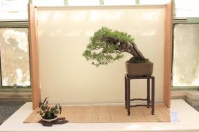 "Pinus silvestris ""Banana"""